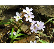 Spring Beauties Photographic Print