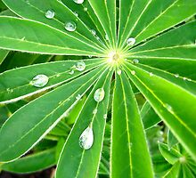 Lupine leaf after the rain by kimmer19