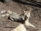 Coyote Relaxing on a Nice Sunny Day by Barberelli