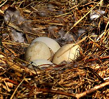 Canada Goose Eggs by Larry Trupp
