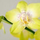 Yellow Phalaenopsis by Leroy Laverman