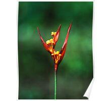 Parakeet flower ( Heliconia psittacorum ) Poster