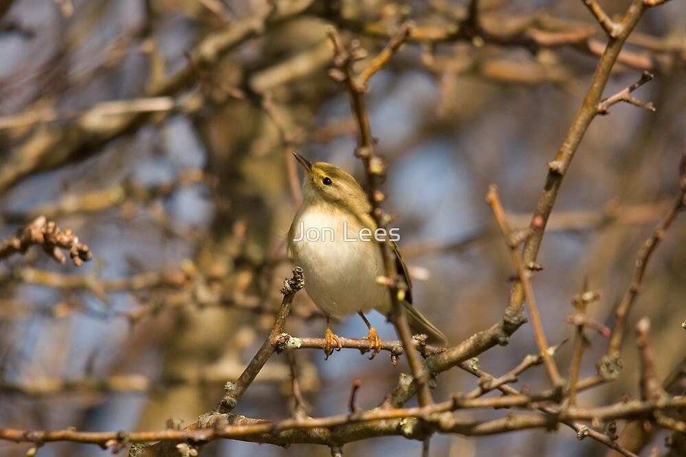 Willow Warbler  by Jon Lees