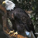 Bald Eagle by VanillaDolphin