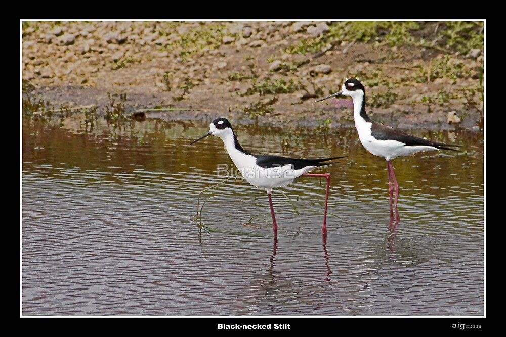 Black necked stilts in water by Bigart32