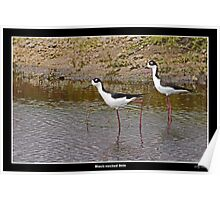 Black necked stilts in water Poster