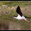 Black necked stilt flying by Bigart32