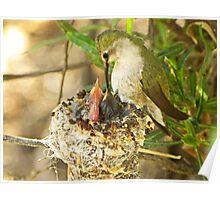 Costa Hummingbird Feeding Babies Poster
