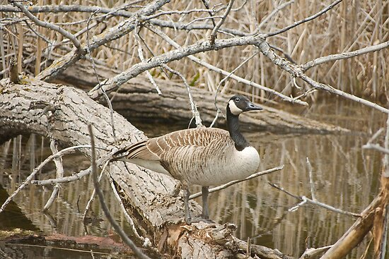 Solo Goose by Mike Oxley