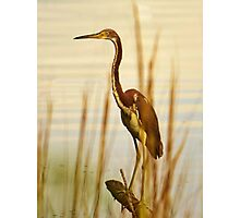 Tri Colored Heron Photographic Print