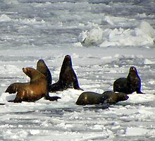 Sea Lions ~ Alaska by lanebrain photography