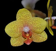 Lemon Orchid by soulexpressions