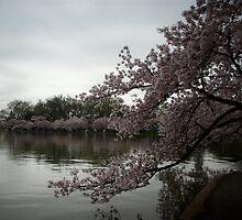 Cherry Blossom 2010 A by AJ Belongia