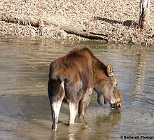 Female Moose Drinking in the Lake by Barberelli