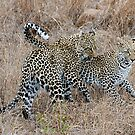 Mother and Daughter Leopards by Michael  Moss