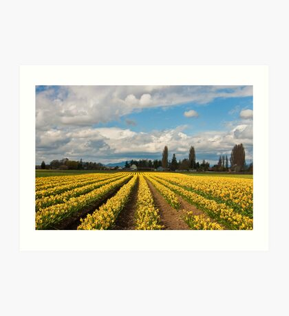 Skagit Valley Daffodils Art Print