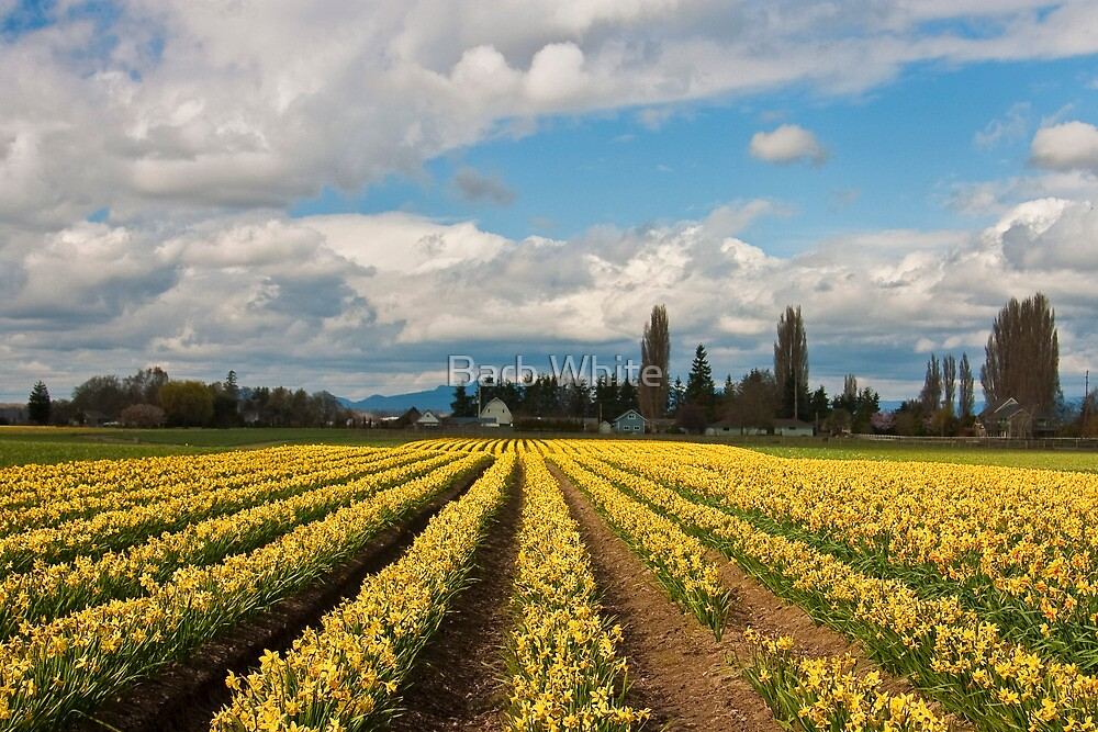 Skagit Valley Daffodils by Barb White