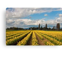 Skagit Valley Daffodils Canvas Print