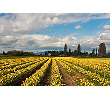 Skagit Valley Daffodils Photographic Print