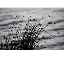 Reeds at Dusk Photographic Print