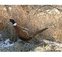 Ring-necked Pheasant on a Mission Photographic Print