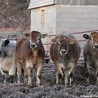 Generous Four Moo-Moo Salute by Barberelli
