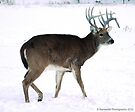 Handsome Buck in Winter by Barberelli
