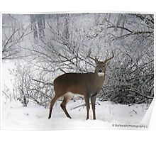 Male White-tailed Deer in Winter Poster