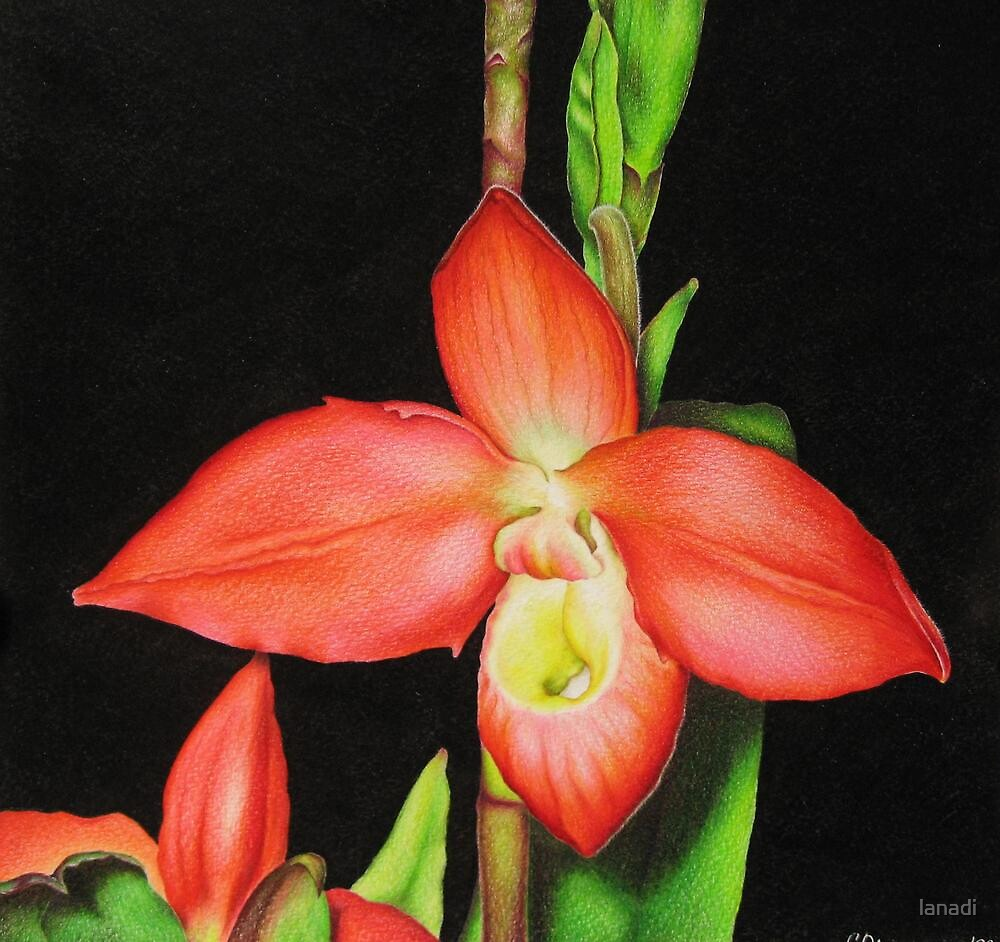 Red Ladyslipper Orchid by lanadi