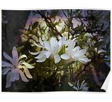 ~ Star Magnolia ~ Poster