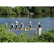 Pelicans On The Manning Photographic Print