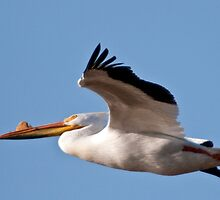 American White Pelican by Joe Thill