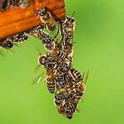 A bunch of bees? by Mark Bangert