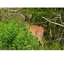 Whitetail Deer Going Home Photographic Print