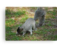 A Southern Fox Squirrel Canvas Print