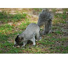 A Southern Fox Squirrel Photographic Print