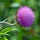 Purple Prairie Plant by Brian Gaynor