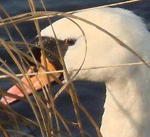 Swan Song by Sandra Cockayne