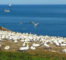 Northern Gannets by 29Breizh33