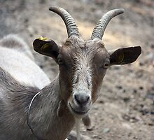 Goat looking to you by Evogance