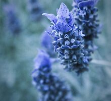 0042  French Lavender by Hazel Hogarth