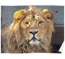 Staring Lion Poster