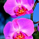 Orchid by IraW