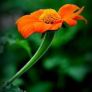 Orange Flower by IraW