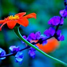 Orange Flower with blue background by IraW