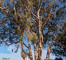 Mission Ranch Eucalyptus - Carmel, CA by JimPavelle