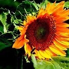 Sunflower by IraW