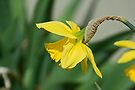 Daffodil by Mike Oxley