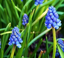 Grape Hyacinthe by artfulvistas