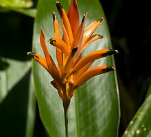 Orange Bromeliad by G. Patrick Colvin